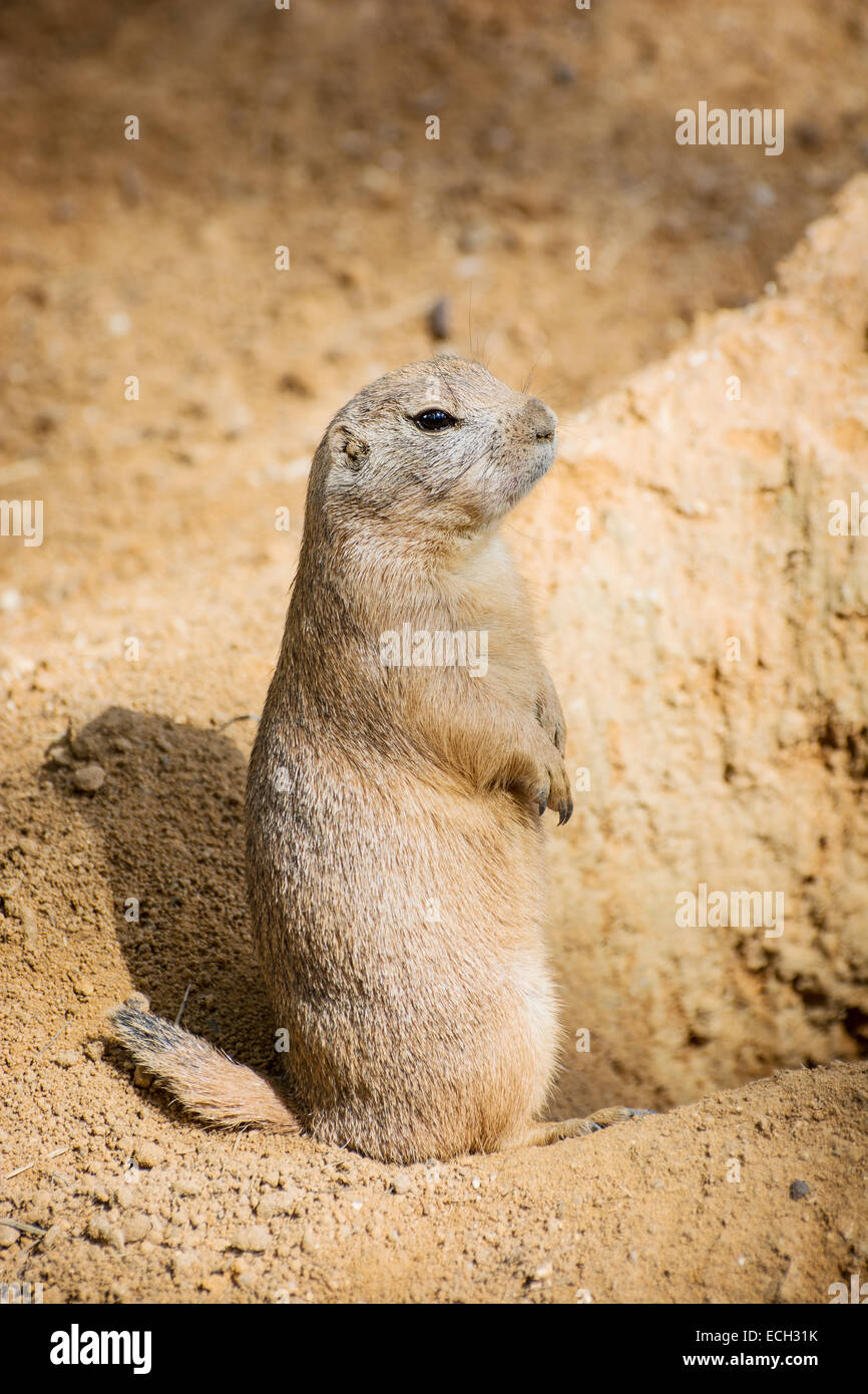 Groundhog (Marmota monax) is standing by the pit and watching surroundings. - Stock Image