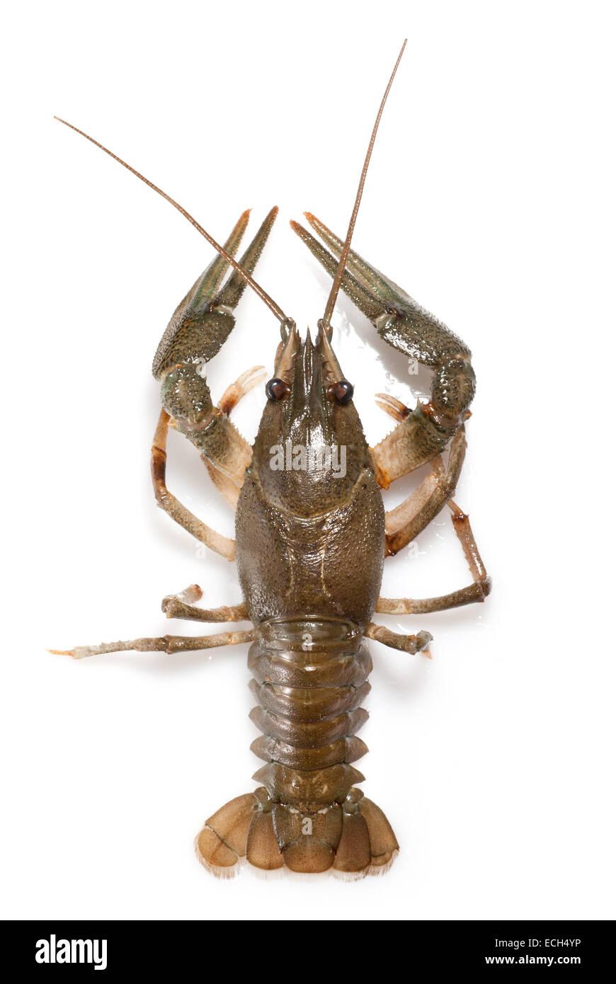 alive crayfish isolated on white - Stock Image