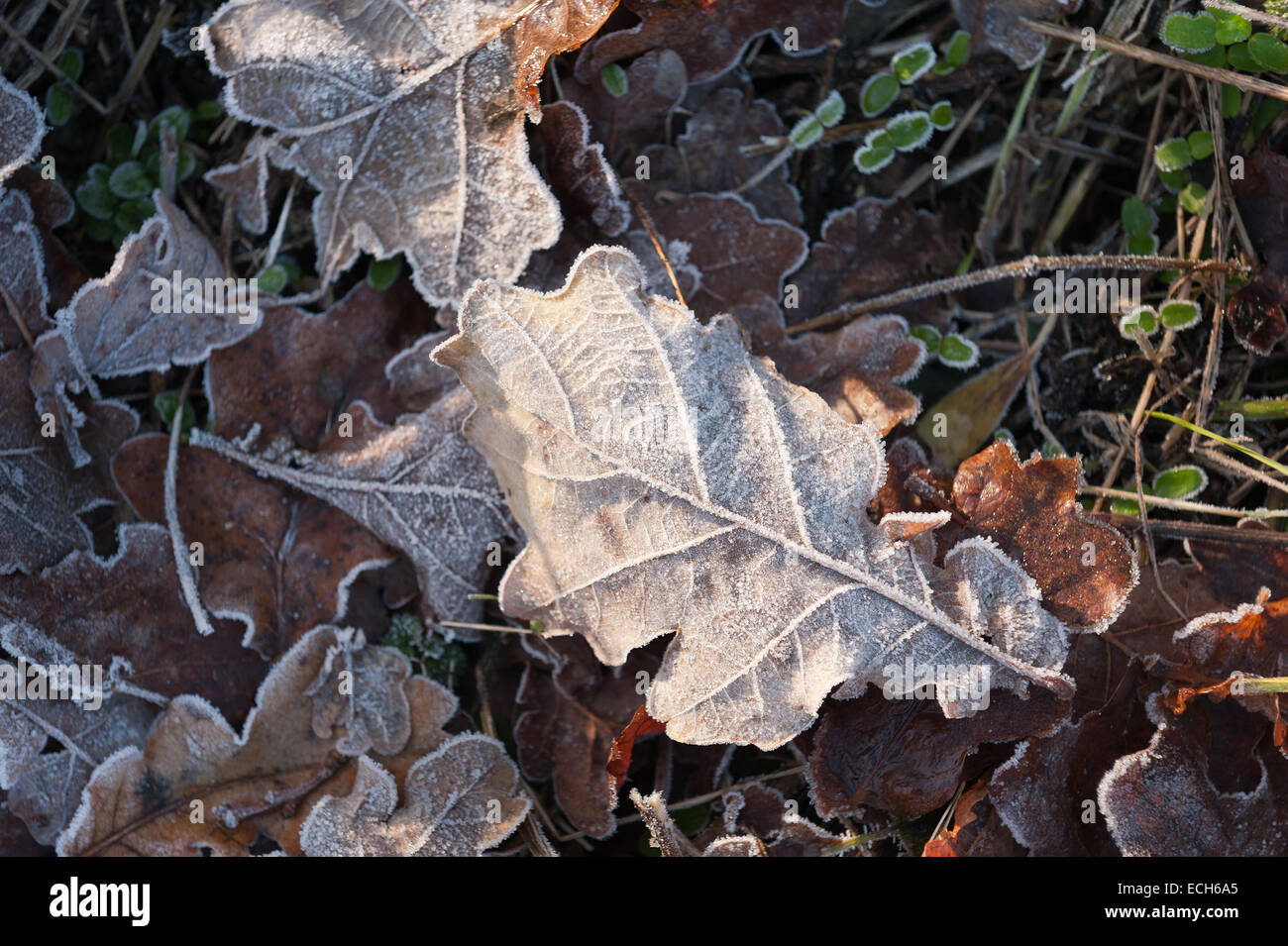 bitter cold frosty morning leaf litter oak leaves coated in coating of frost in late autumn winter Stock Photo