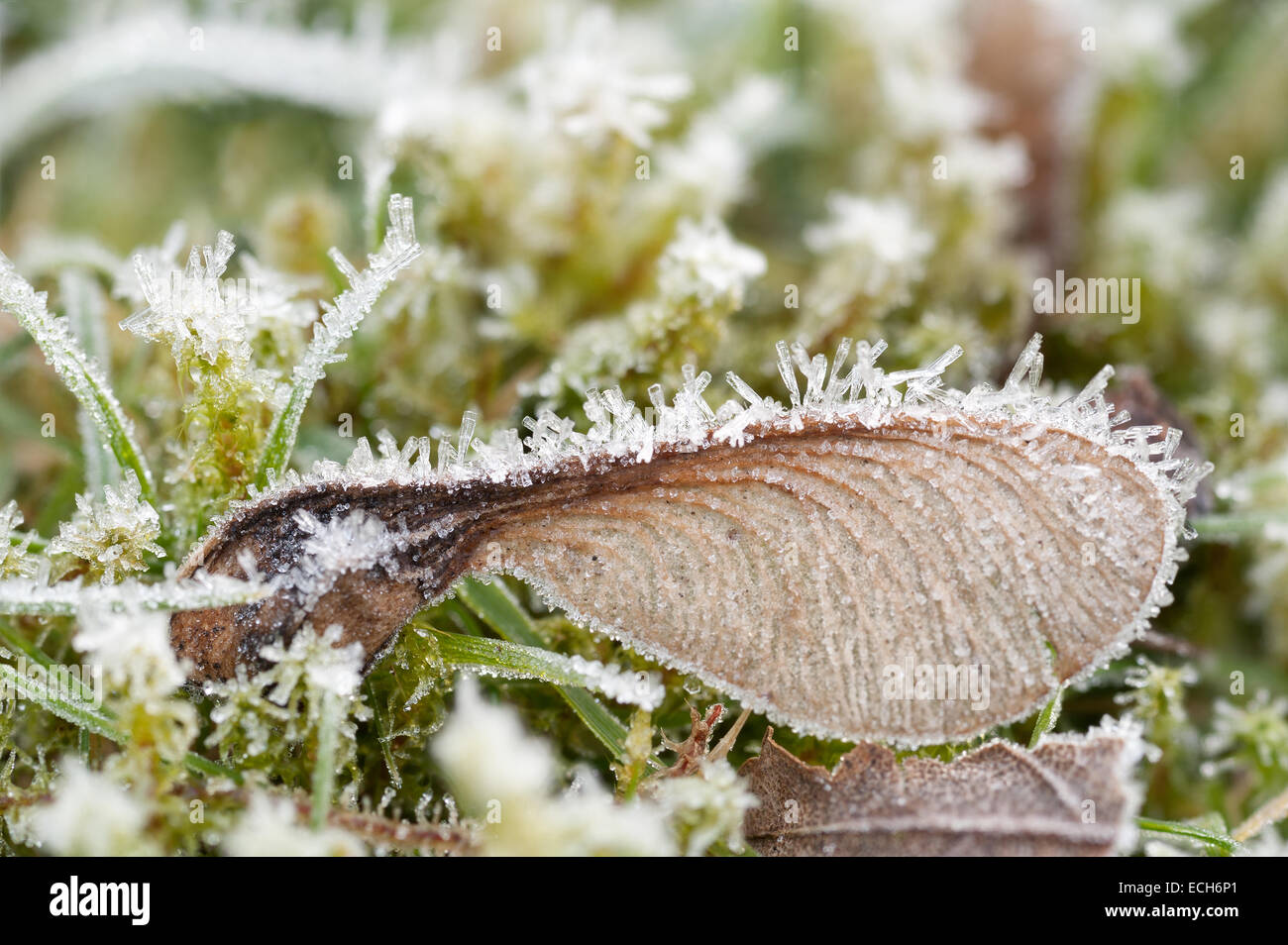 waiting to germinate in the spring maple acer seeds are dormant covered in a harsh coating of frost and ice in winter - Stock Image