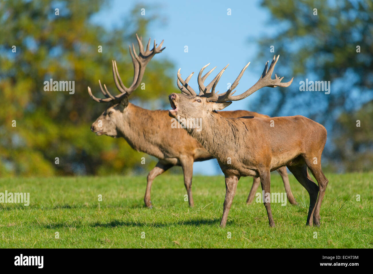 Red deer (Cervus elaphus), walking next to each other, display behavior of rivals in the rut, captive, Lower Saxony, - Stock Image