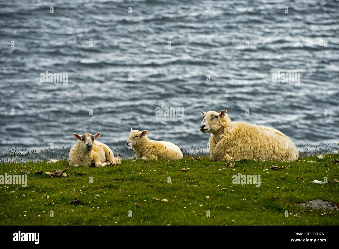 Wool sheep, ewe with two lambs lying on the shore, Isle of Skye, Inner Hebrides, Scotland, United Kingdom - Stock Image