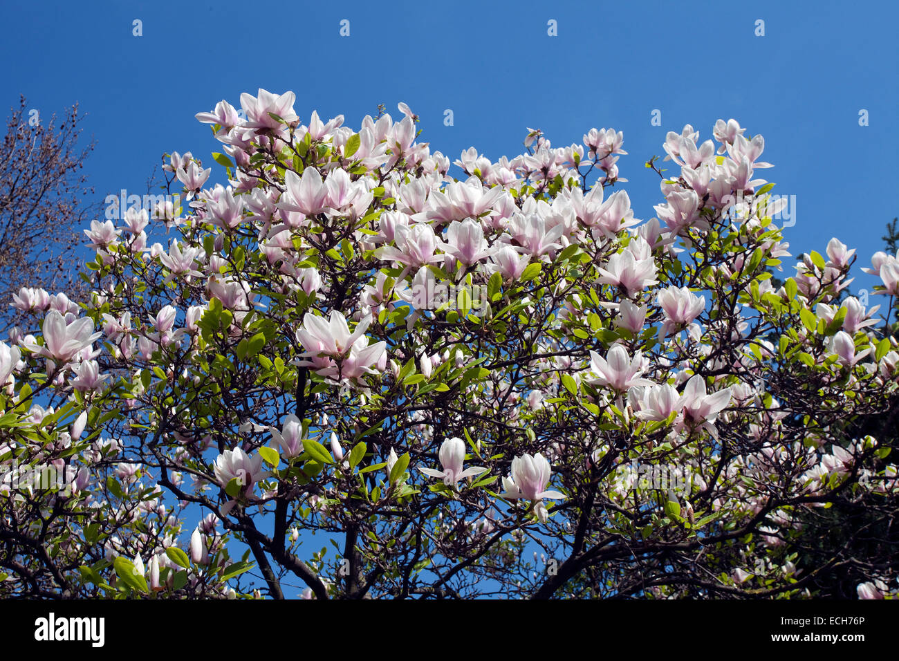 Saucer Magnolia (Magnolia x soulangeana), in full bloom, Bavaria, Germany - Stock Image