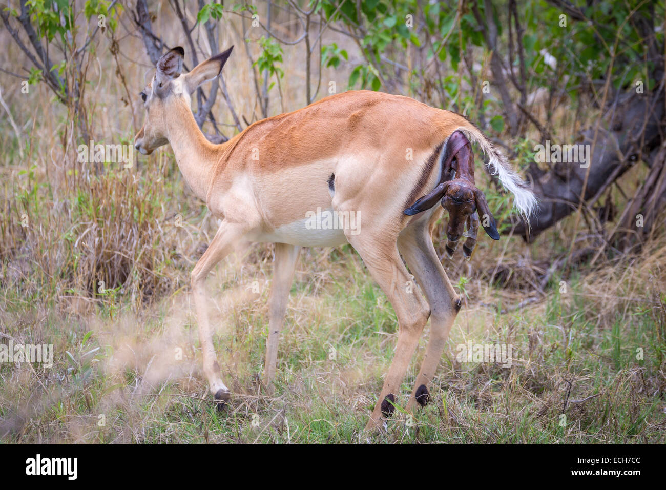 Impala (Aepyceros melampus) female at birth, head and front legs of the newborn protruding from the standing female - Stock Image