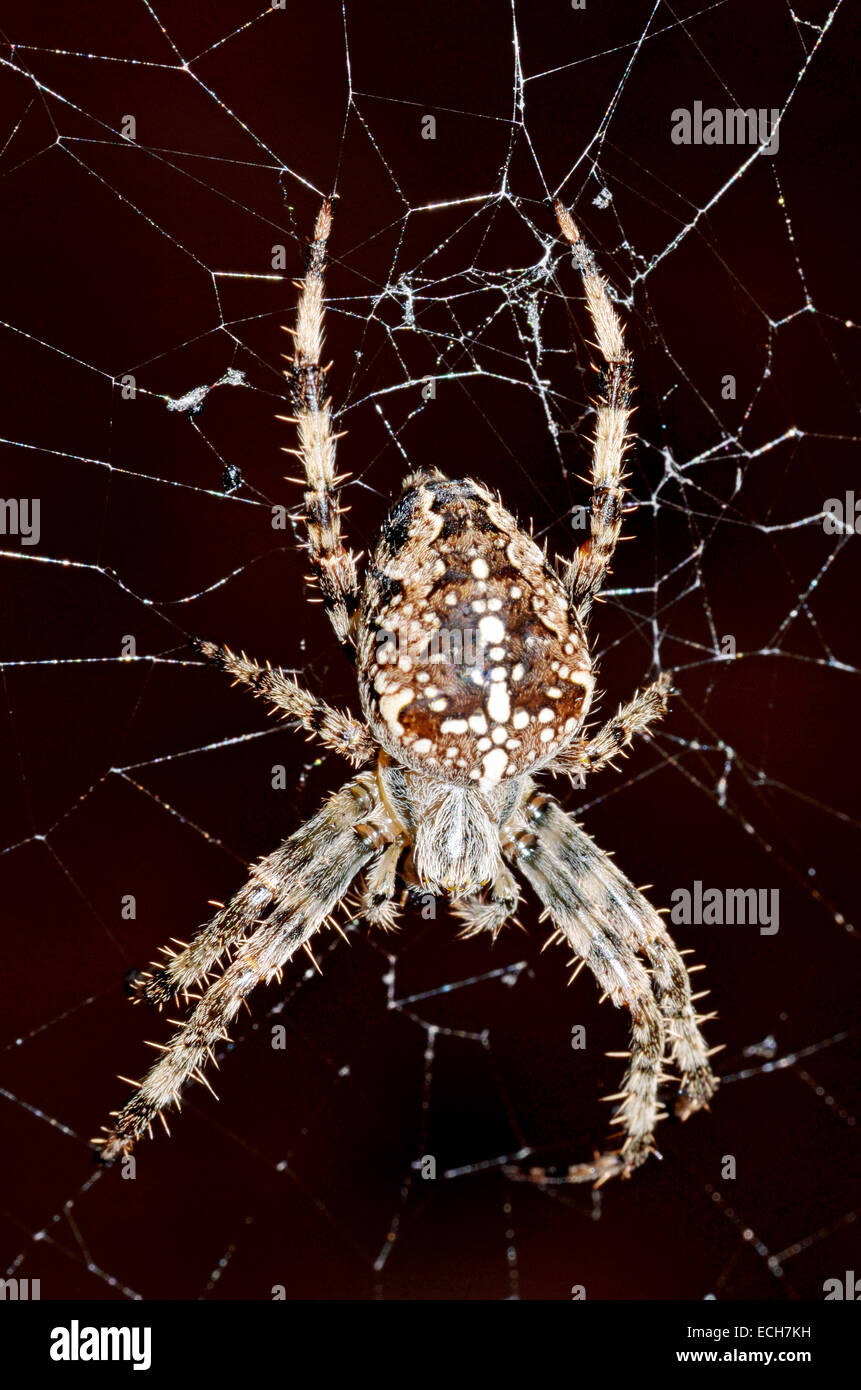 A Common European Garden Spider on its web - Stock Image