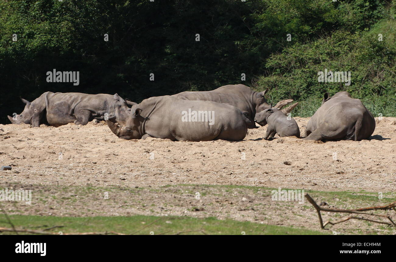 Family of African Southern White rhinos (Rhinoceros Ceratotherium simum)  resting in the sun Stock Photo
