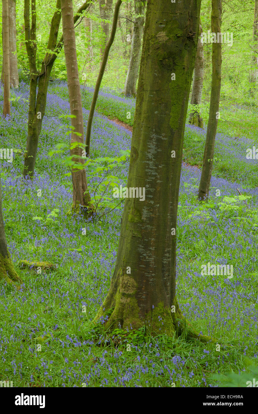 Bluebells and beech woodland, Portglenone Forest, County Antrim, Northern Ireland. - Stock Image