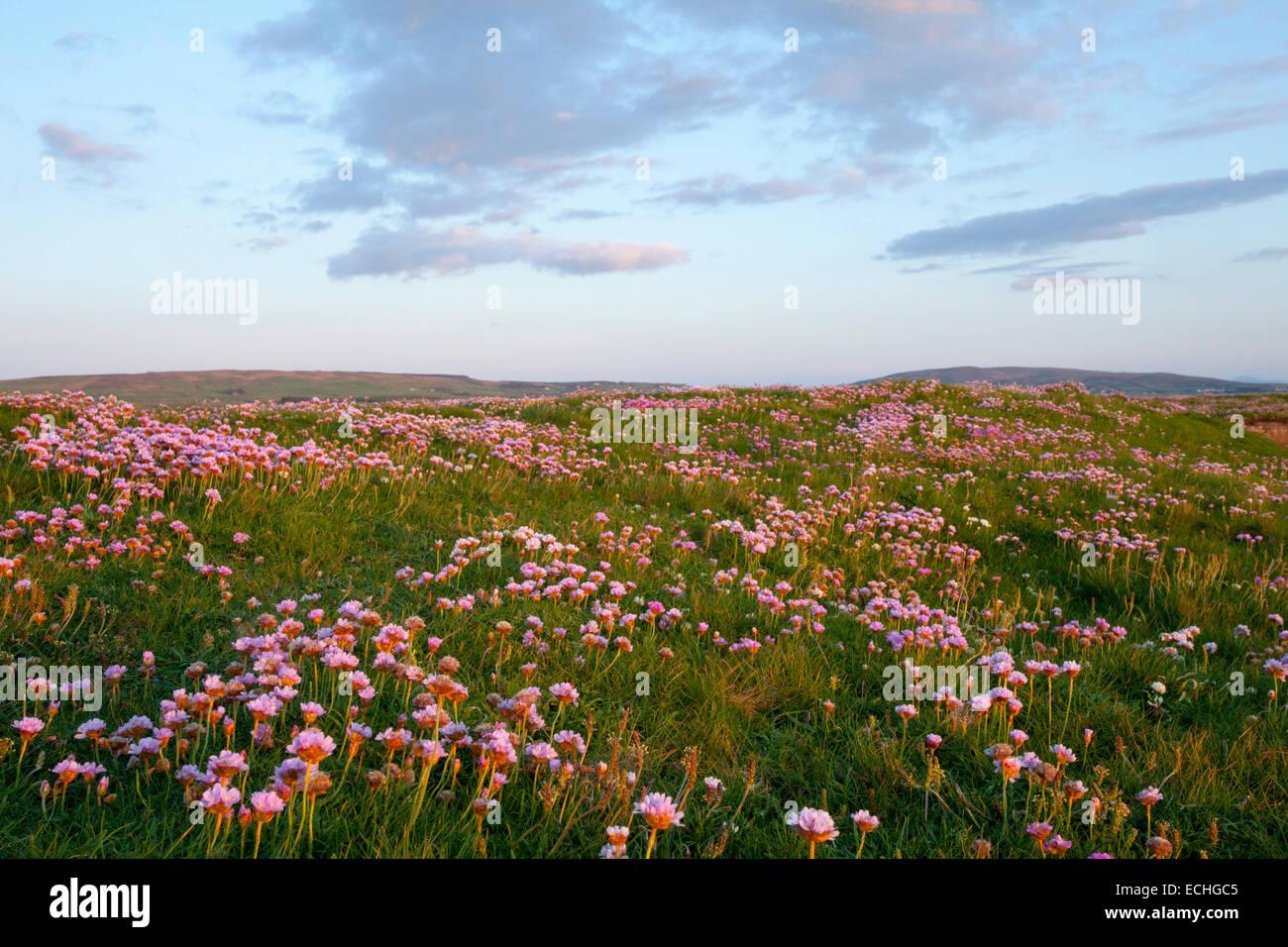 Coastal meadow of thrift or seapink (armeria maritima), Downpatrick Head, County Mayo, Ireland. - Stock Image