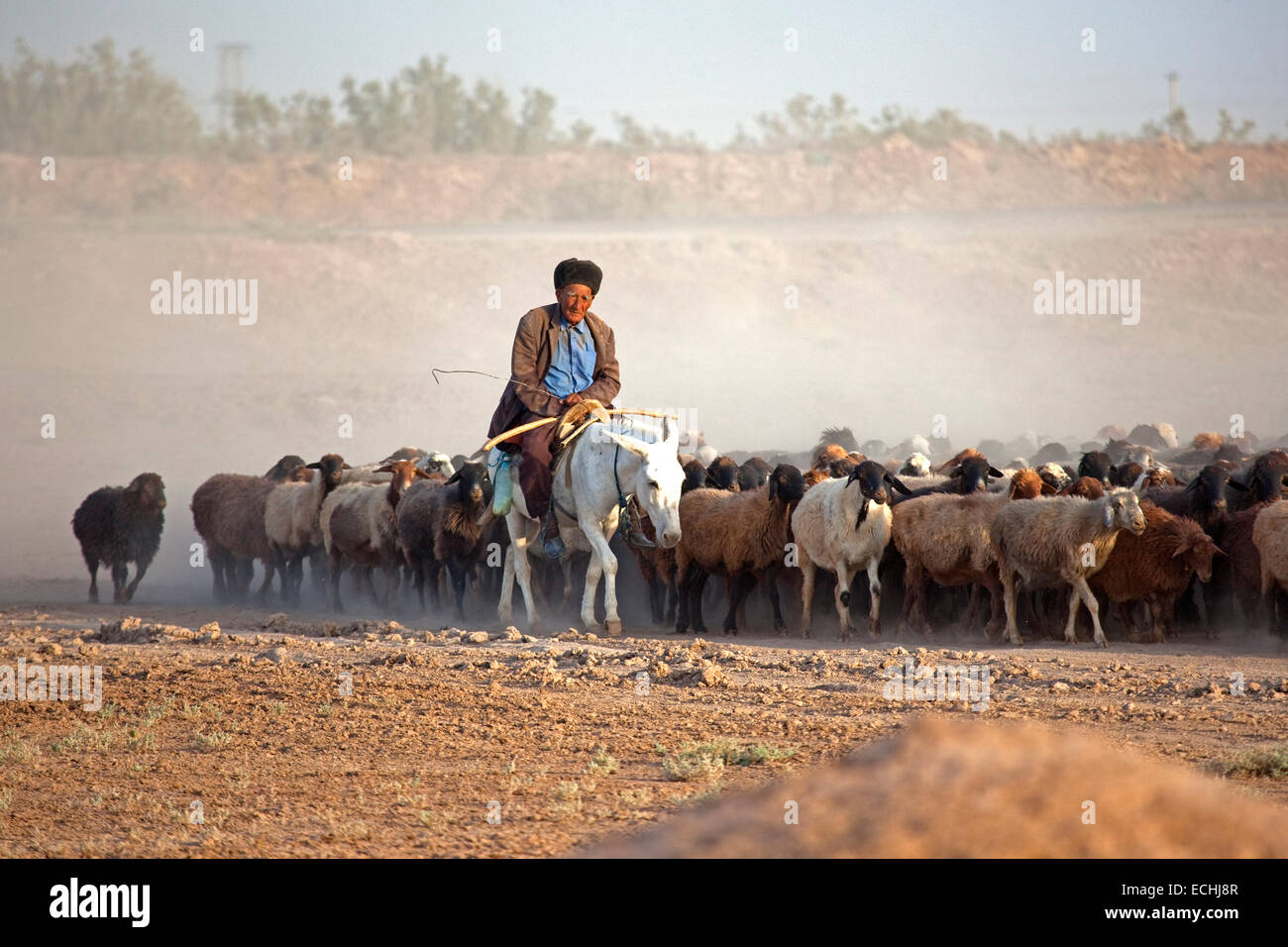 Turkmen shepherd riding on donkey while herding flock of sheep in the Karakum desert in Turkmenistan - Stock Image