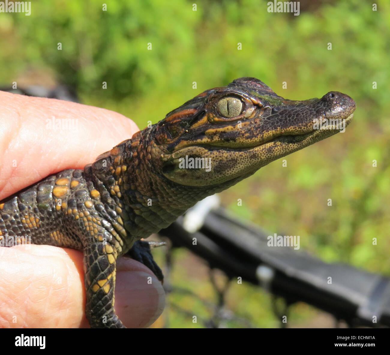 ATAFALAYA WILDLIFE REFUGE, Louisiana. Young American Alligator (Alligatoridae mississippiensis). Photo Tony Gale - Stock Image