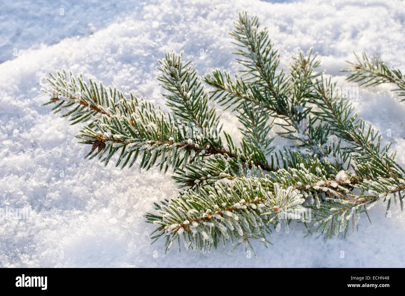 Red ball hanging on  snow-covered fir branch - Stock Image