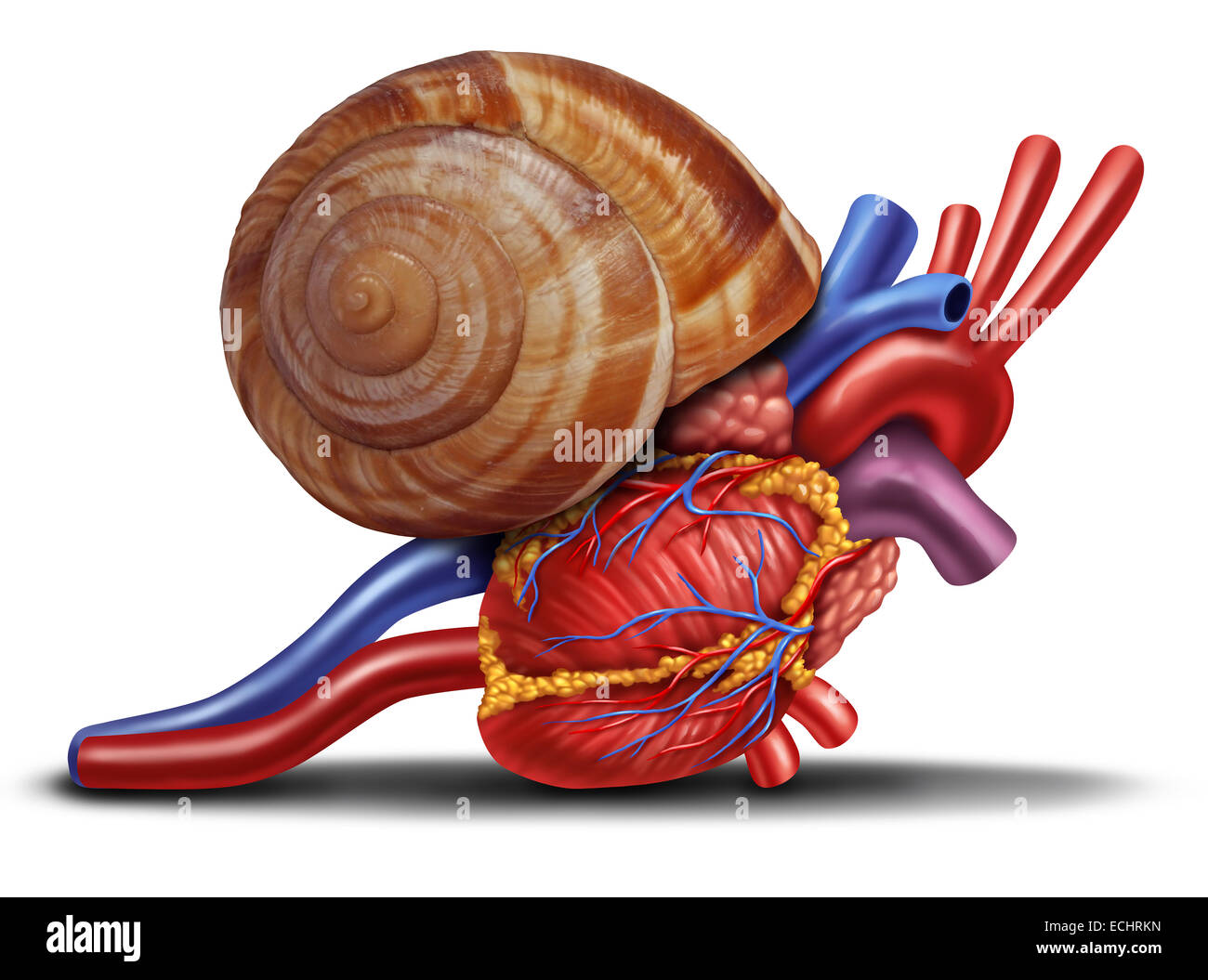 Slow heart rate concept as a snail shell on human anatomy from an unhealthy body as a medical health care symbol - Stock Image