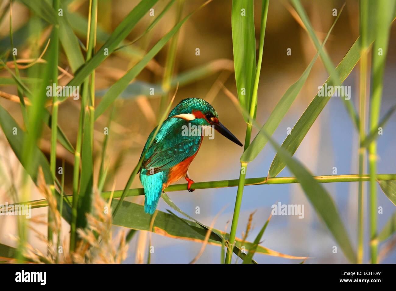 common kingfisher ,Alcedo atthis in its habitat Stock Photo