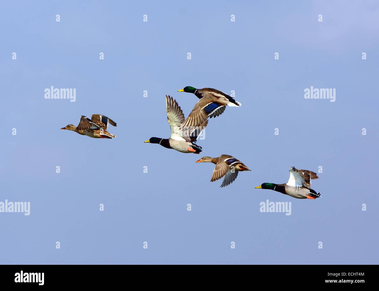 Mallard Duck, Anas platyrhynchos flying, - Stock Image