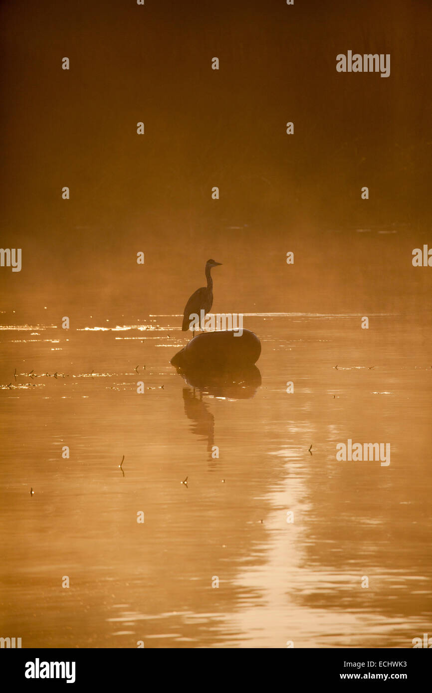 Heron and dawn mist on Lough Ree, River Shannon, County Westmeath, Ireland. Stock Photo