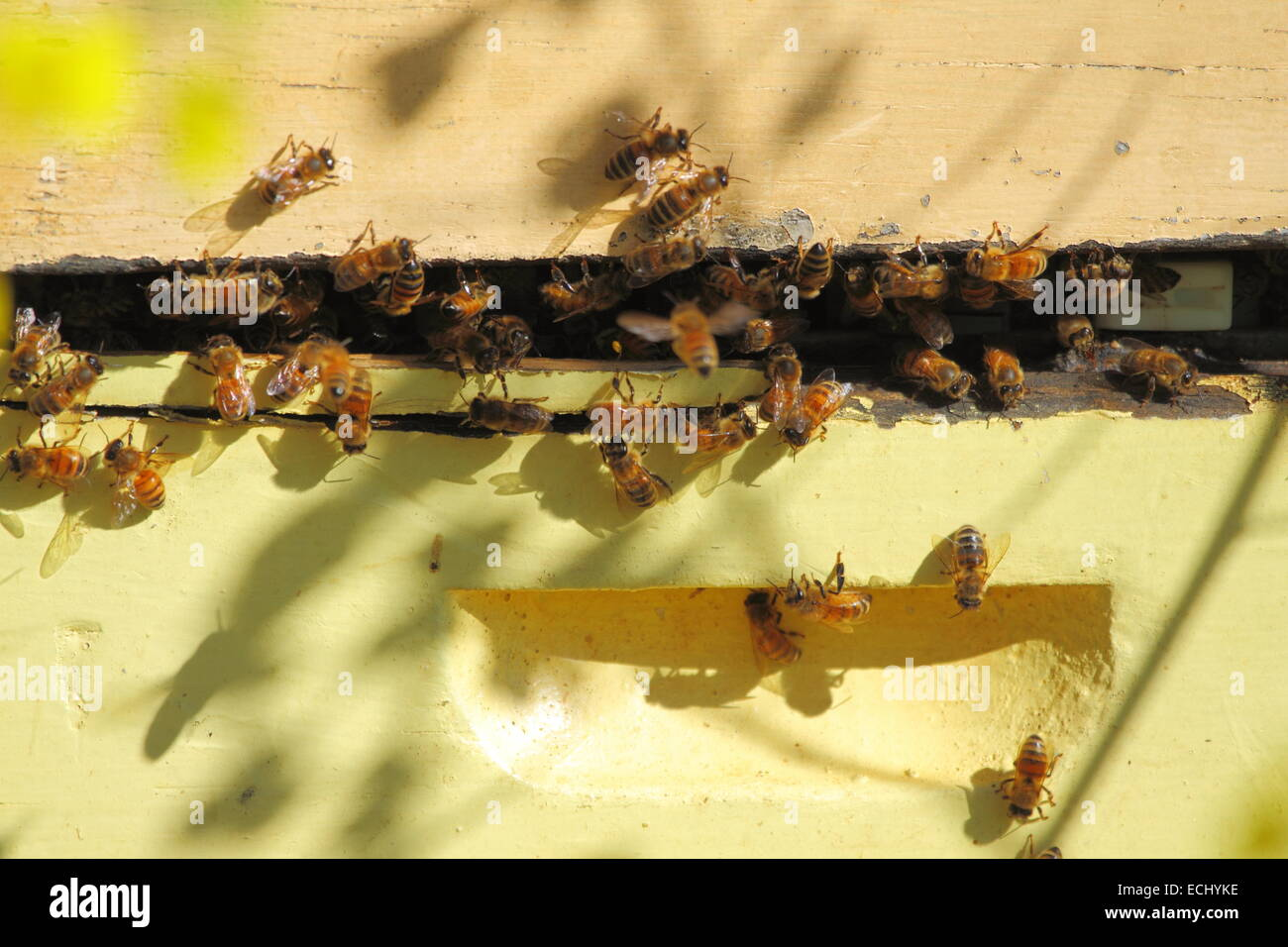 Bees congregating at a hive box among a field of canola near New Norcia, Western Australia. - Stock Image