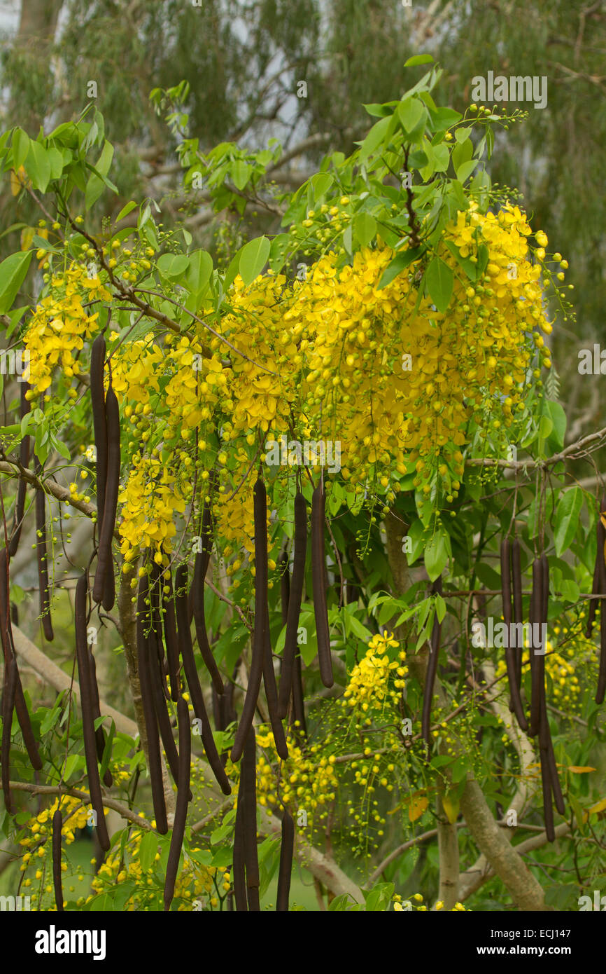 Yellow Flowers Golden Tree Cassia Stock Photos Yellow Flowers