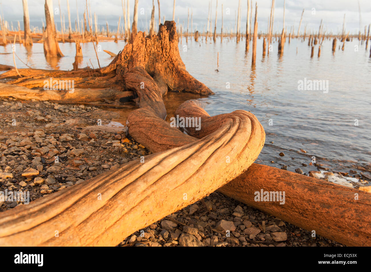 Trunks and roots as last remains of the submerged rainforest in Lake Brokopondo, Suriname - Stock Image
