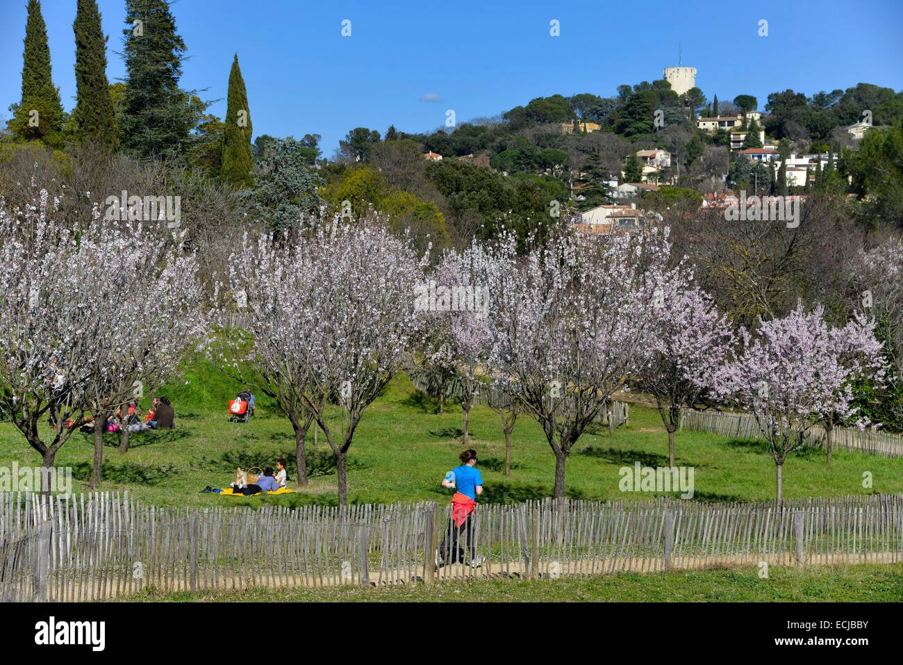 France, Herault, Montpellier, Merci Park, group of persons during a picnic at feet of cherry trees in flower with - Stock Image