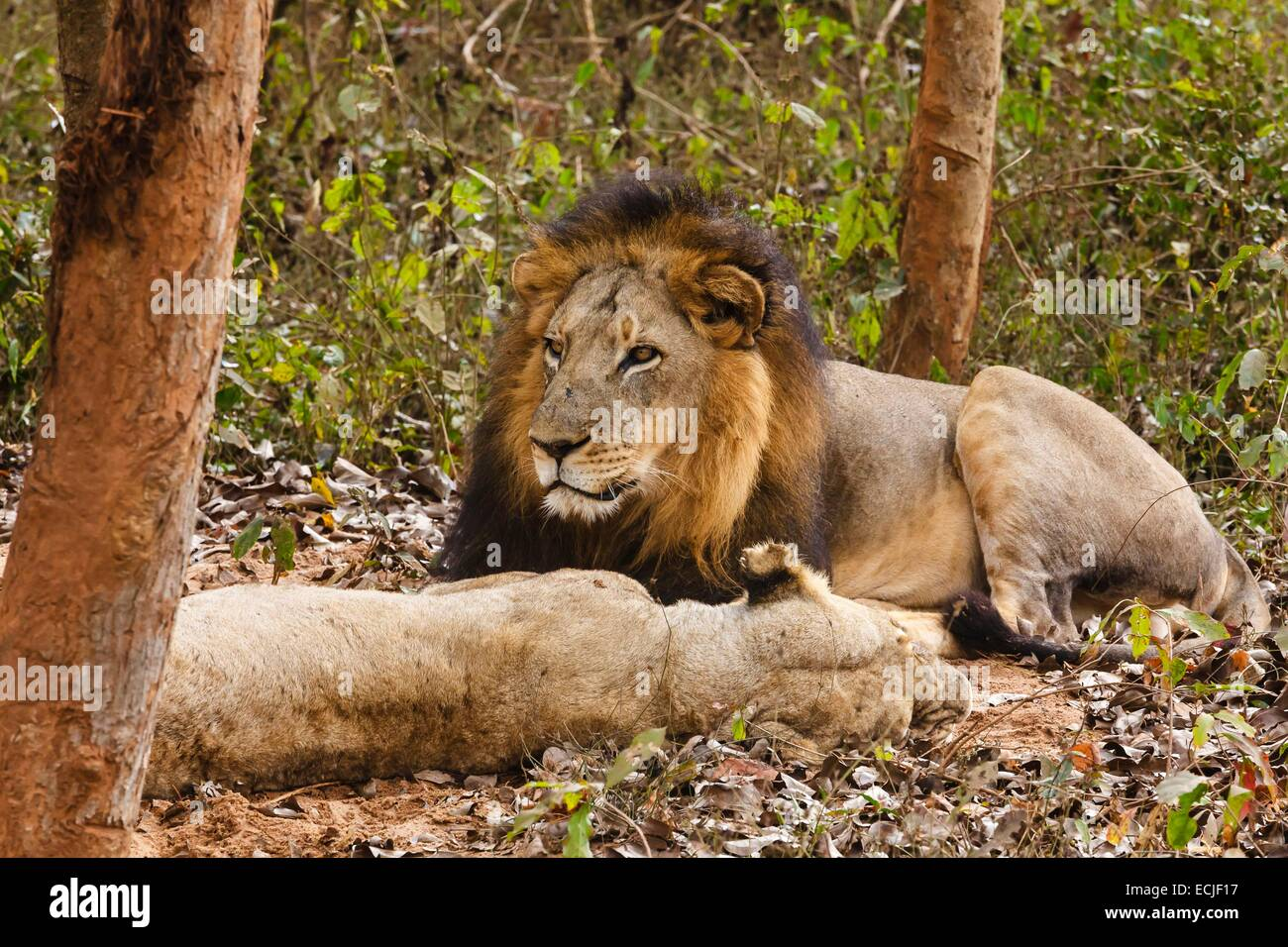 India, Odisha, Bhubaneswar, Nandankanan zoo, Asiatic lion - Stock Image