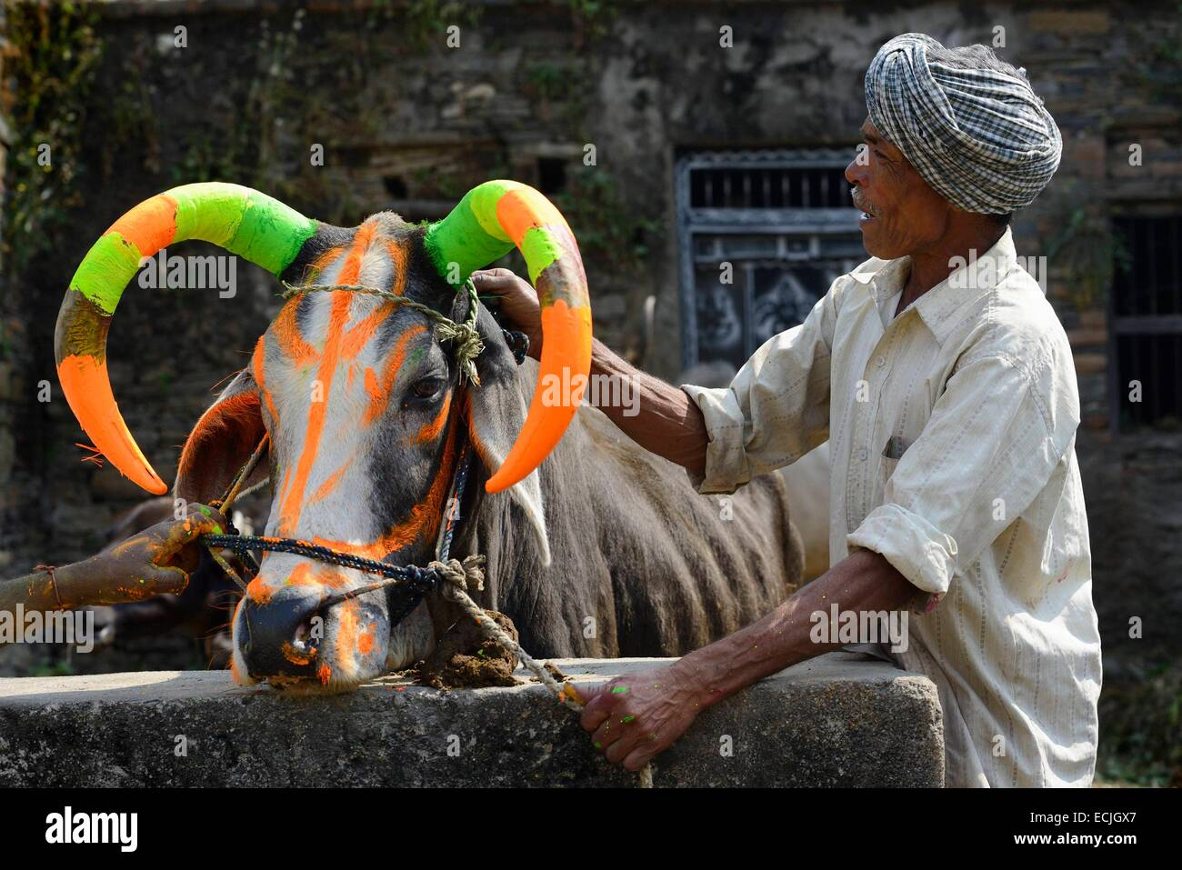 India, Rajasthan, Udaipur region, Diwali festival, Farmers painting the horns of a holy cow The fourth day of Diwali - Stock Image
