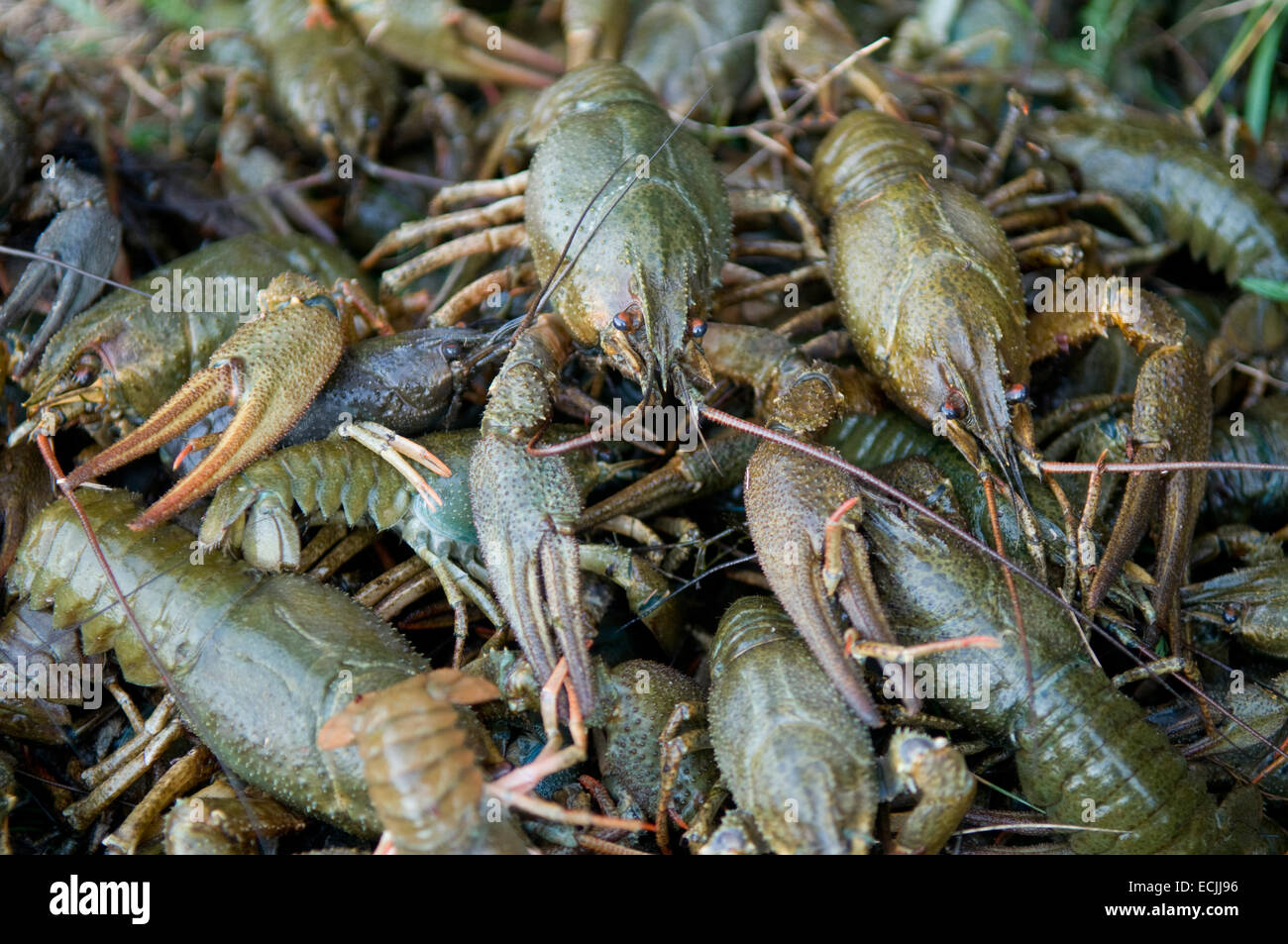 There are many crawfishes on the photo. Crawfishes are green, because the are vitality. - Stock Image