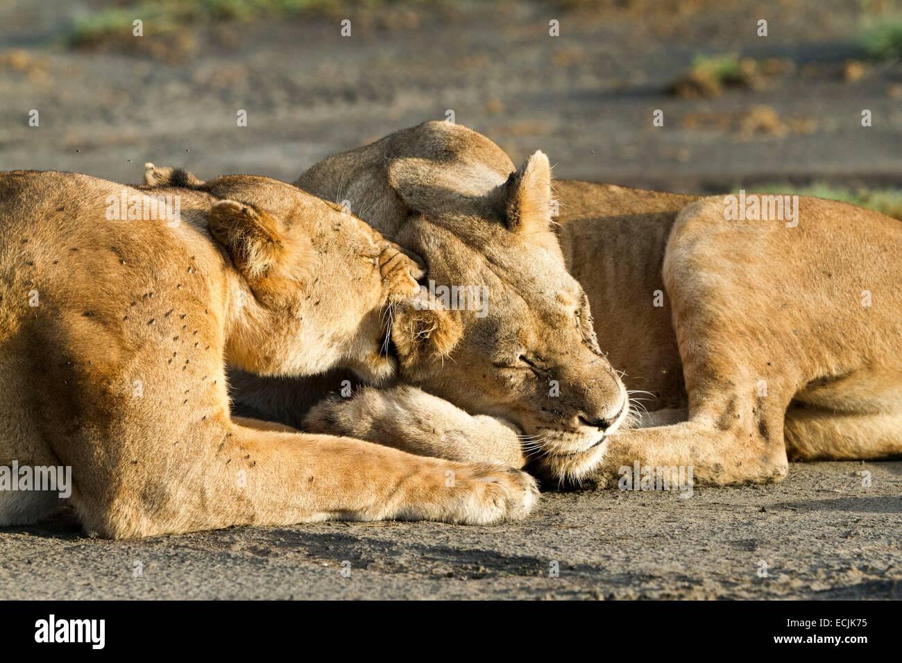 Tanzanie, Ngorongoro national park, lion (Panthera leo), females cleaning themselves - Stock Image