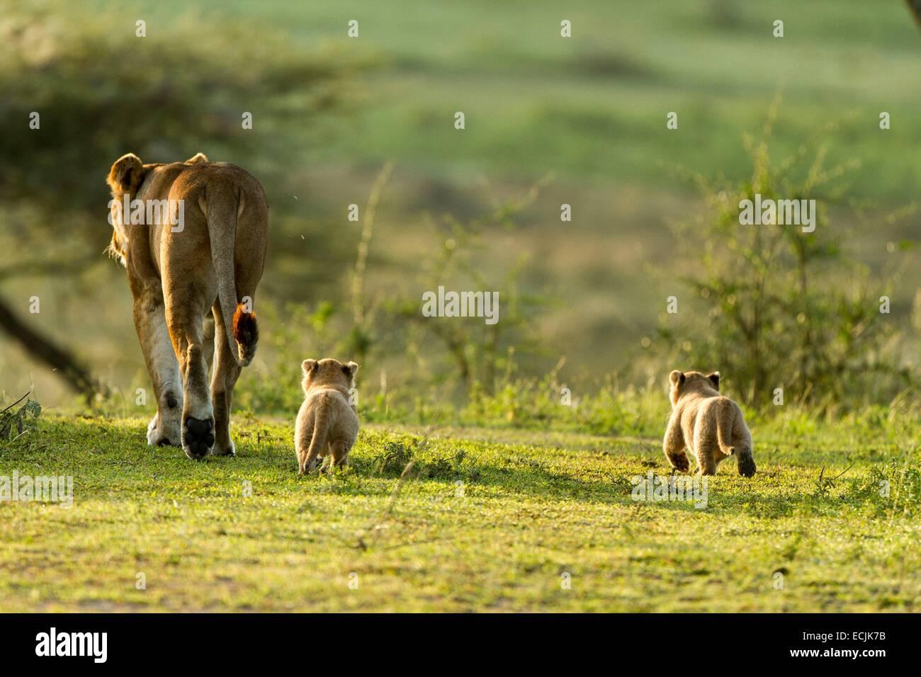 Tanzanie, Ngorongoro national park, lion (Panthera leo), a female and her babies - Stock Image