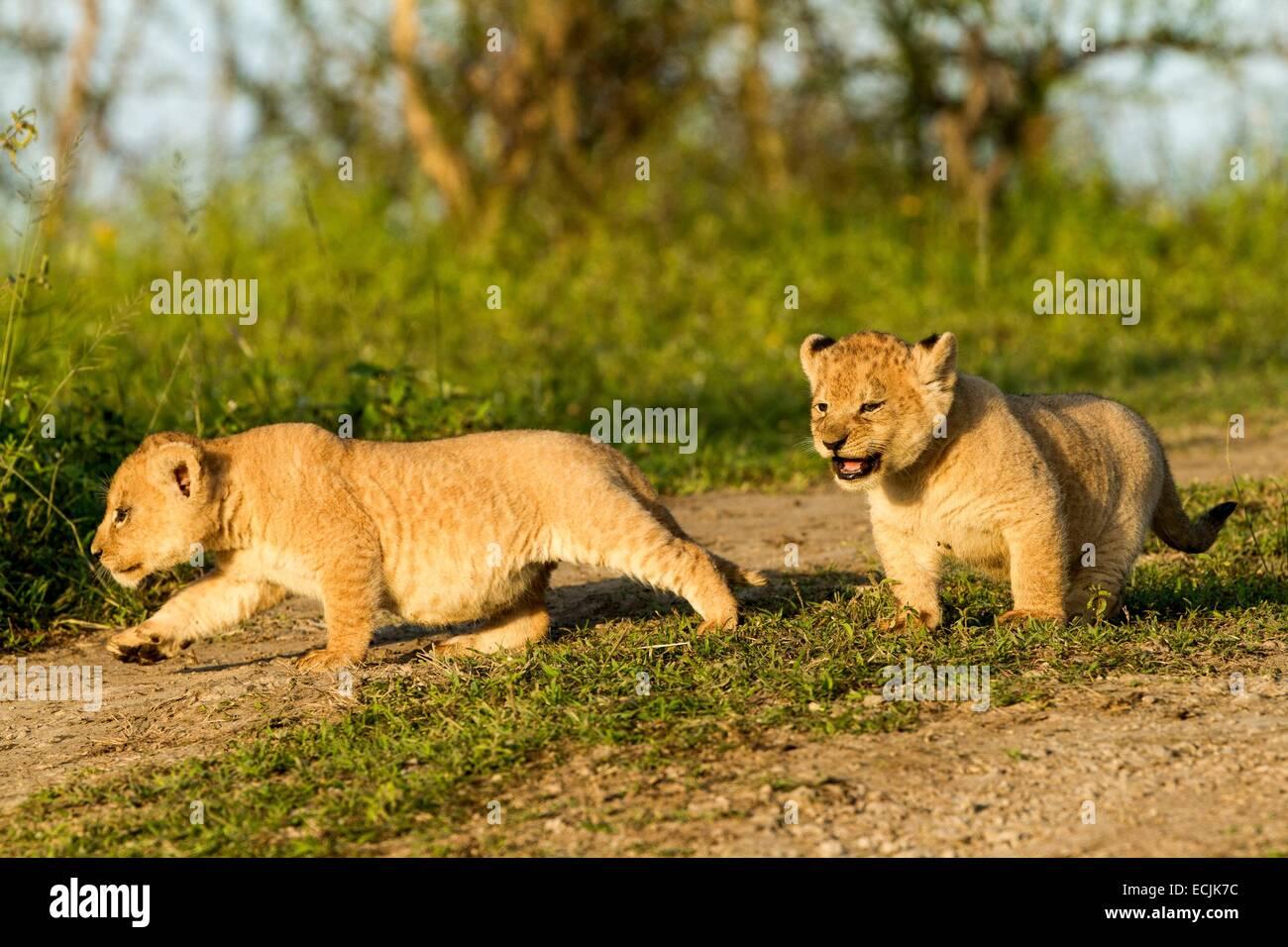 Tanzanie, Ngorongoro national park, lion (Panthera leo), babies - Stock Image