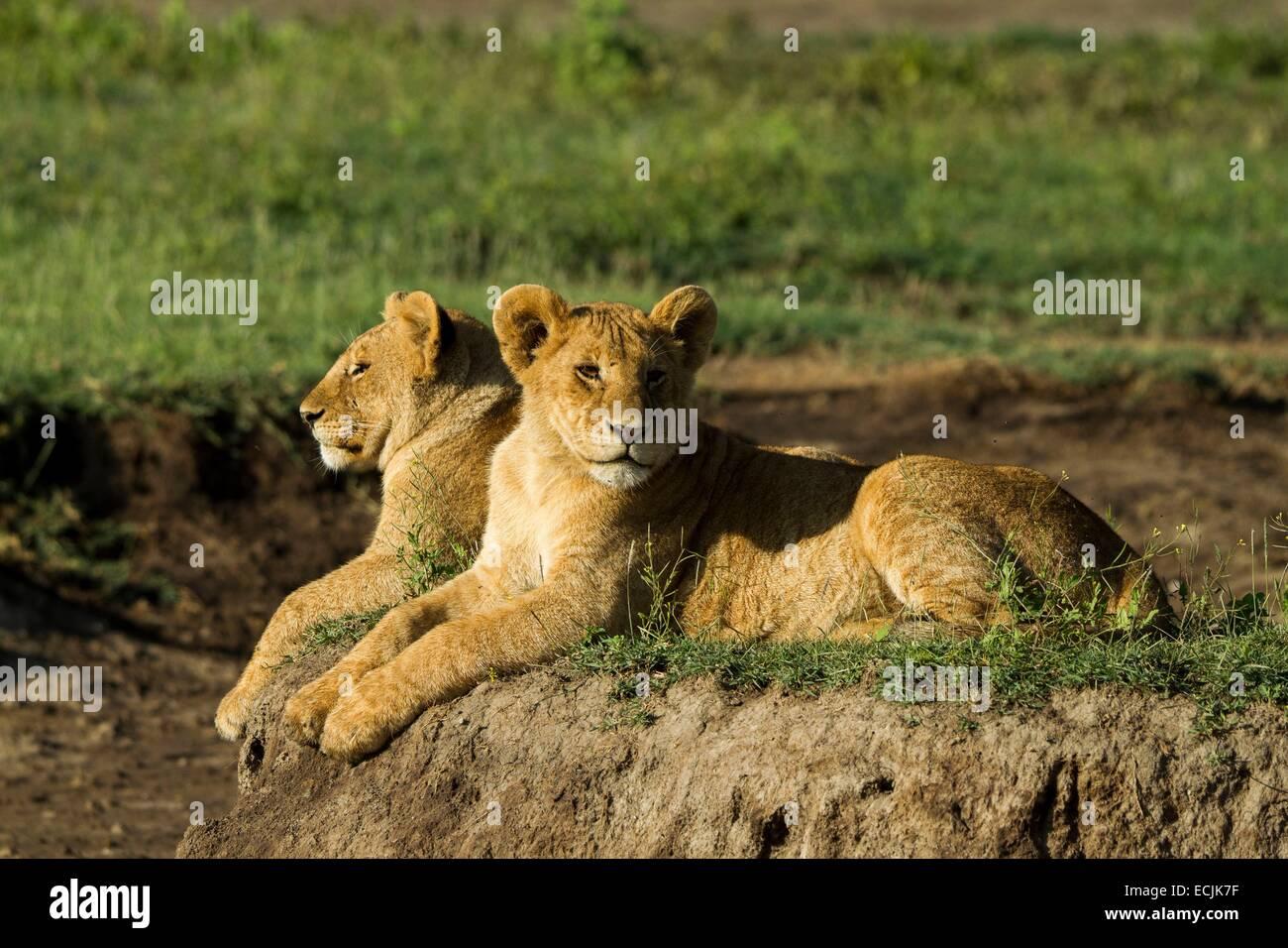 Tanzanie, Ngorongoro national park, lion (Panthera leo), big cubs - Stock Image