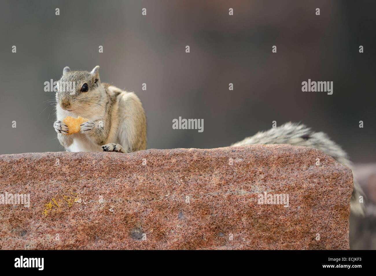 India, Rajasthan, Jodhpur region, Squirrel - Stock Image