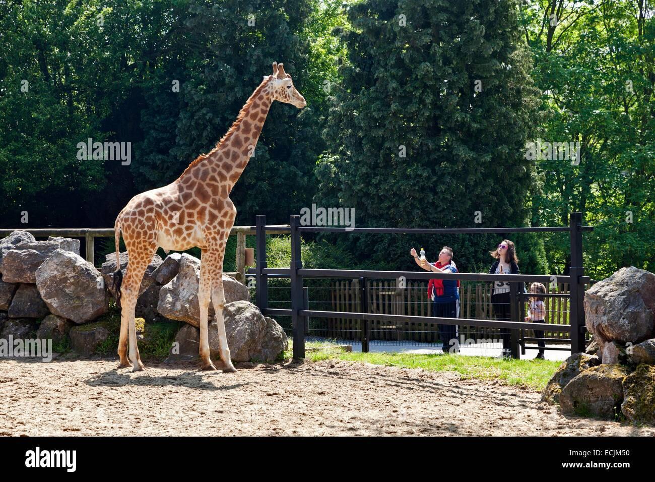 France, Nord, Maubeuge, Maubeuge zoo, visitors watching a Rothschild Giraffe - Stock Image