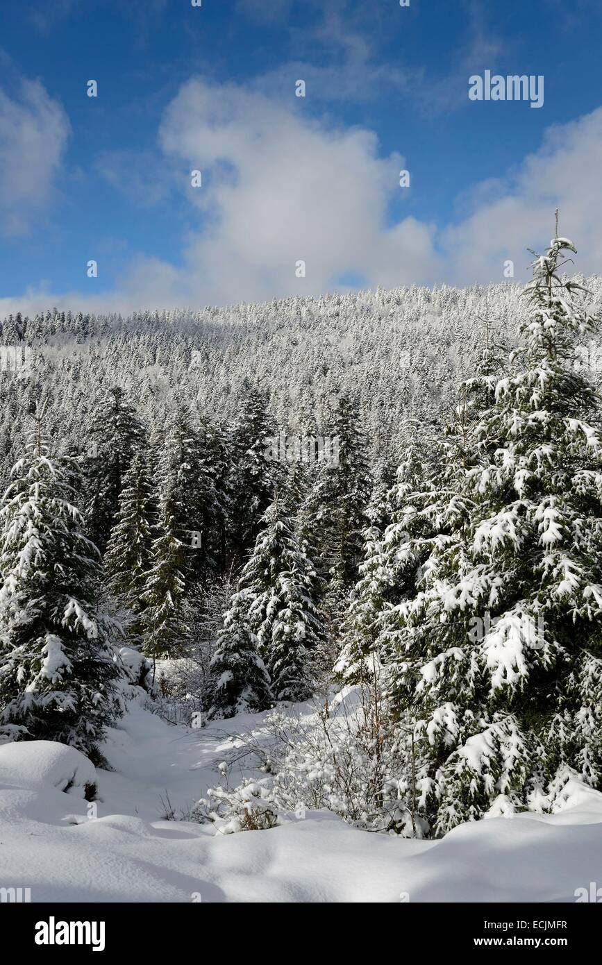 France, Vosges, Massif du Grand Ventron, forest, firs - Stock Image