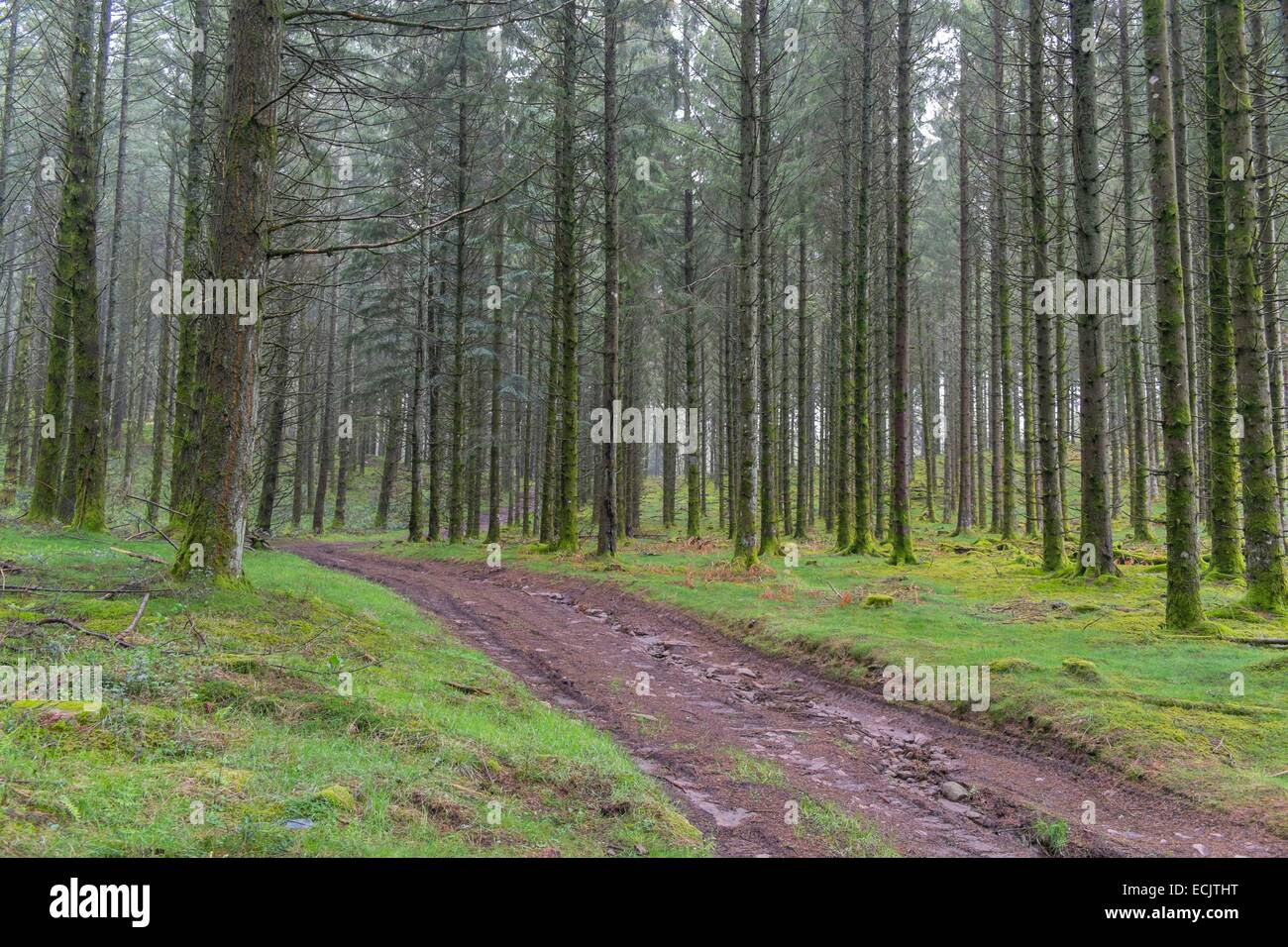 France, Correze, forest of conifer trees, Parc Naturel Regional de Millevaches (Millevaches Regional Natural Park) - Stock Image