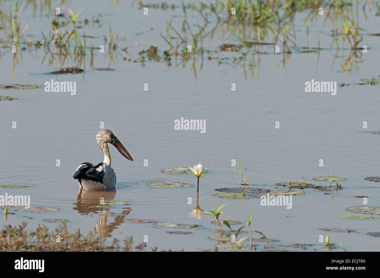 Thailand, India open mouthpiece (Anastomus oscitans) - Stock Image
