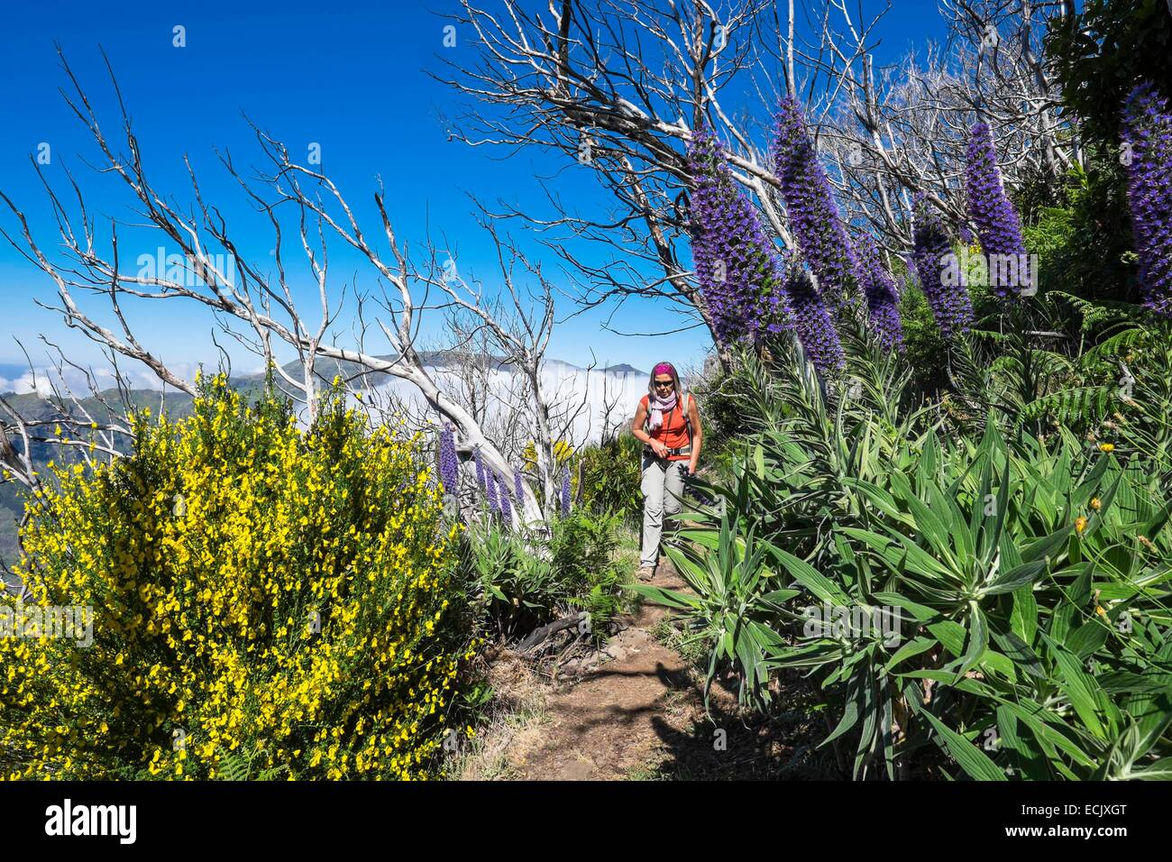 Portugal, Madeira island, hike from Encumeada to Curral das Freiras, vegetation regrowth after many fires - Stock Image