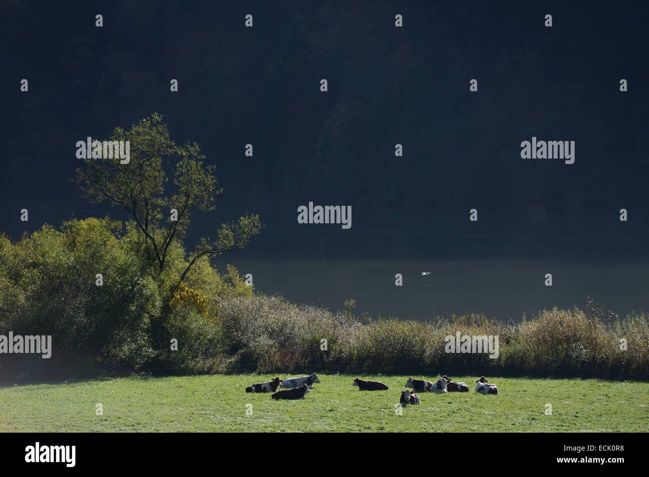France, Doubs, Glere, Doubs valley, Montbéliardes cows grazing ruminant on the Doubs River - Stock Image
