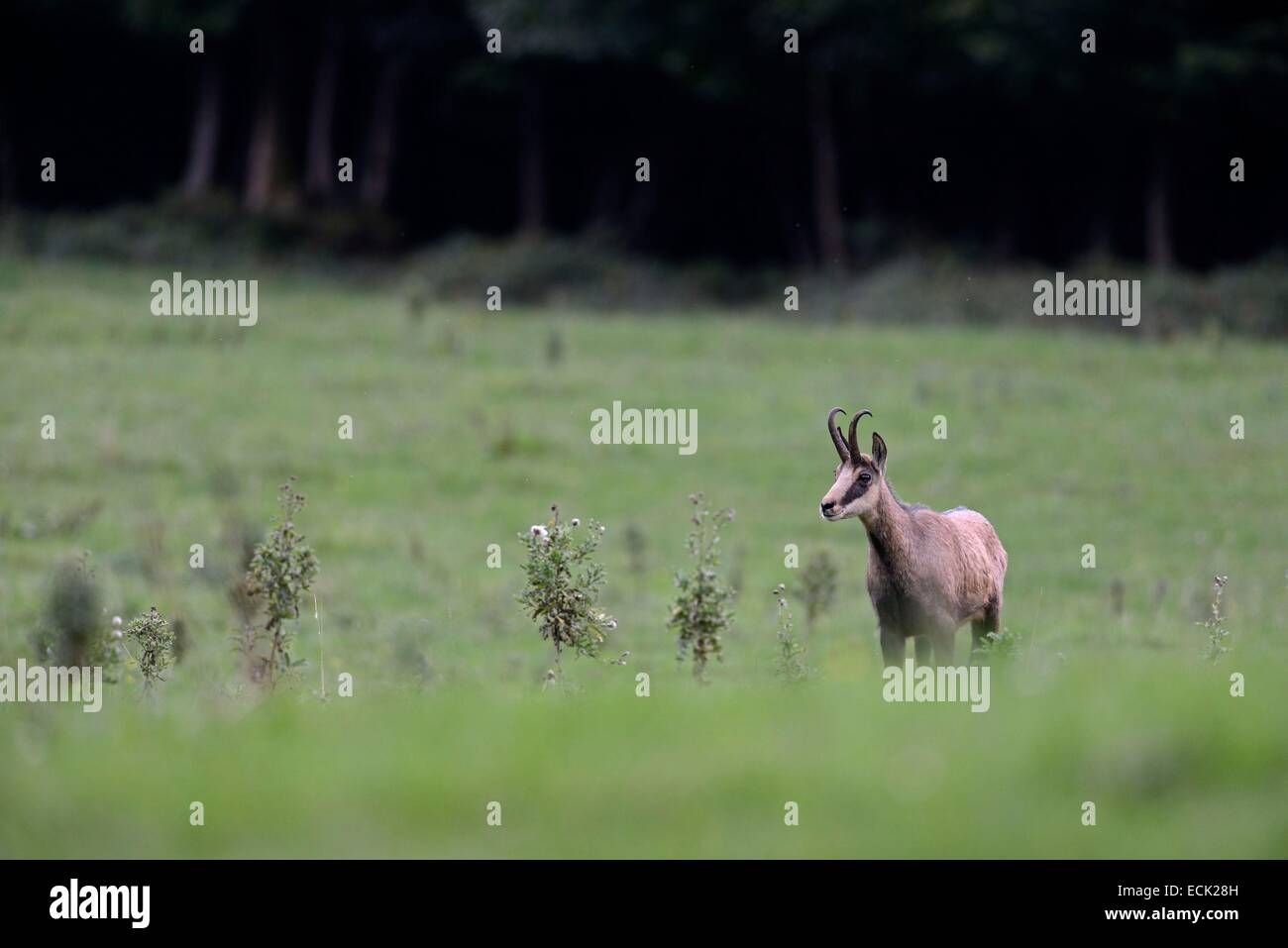 France, Doubs, Liebvillers, Doubs valley, Chamois (Rupicapra Rupicapra) in grassland at the edge of the forest - Stock Image