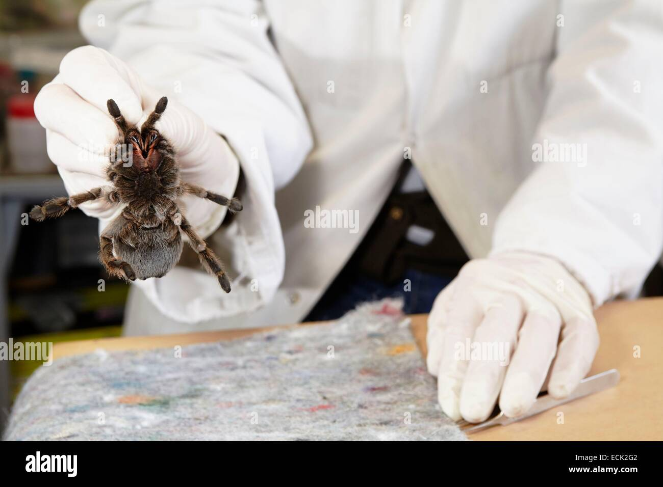 France, Paris, National Museum of Natural History, manipulation of tarantula Aphonopelma sp (Theraphosidae) - Stock Image