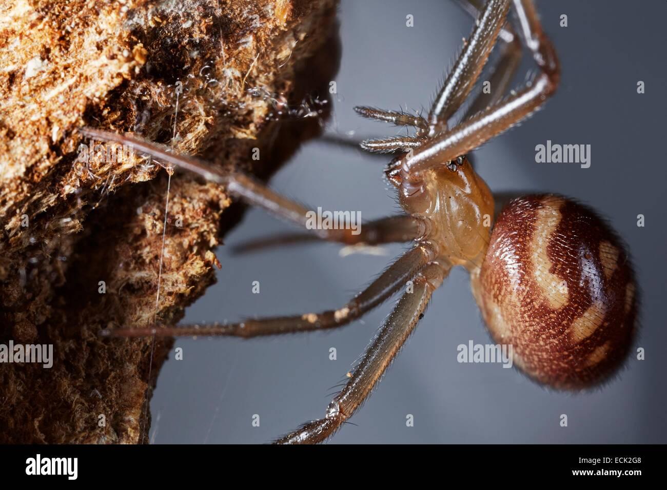 France, Paris, Araneae, Theridiidae, False black widow or Cupboard spider (Steatoda grossa), female - Stock Image