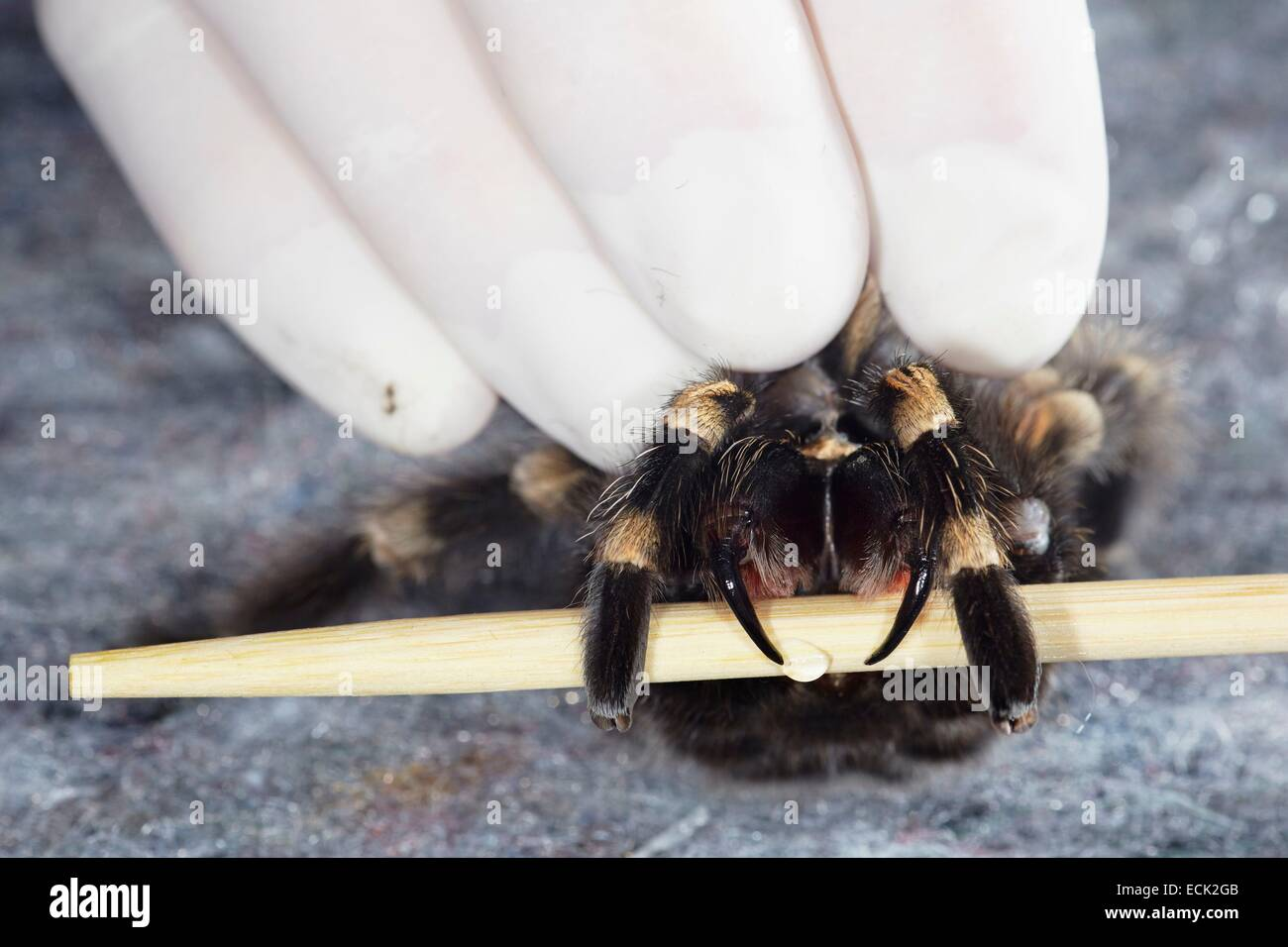 France, Paris, National Museum of Natural History, Mygalomorphae, Theraphosidae, Levy venom on a Mexican redknee - Stock Image