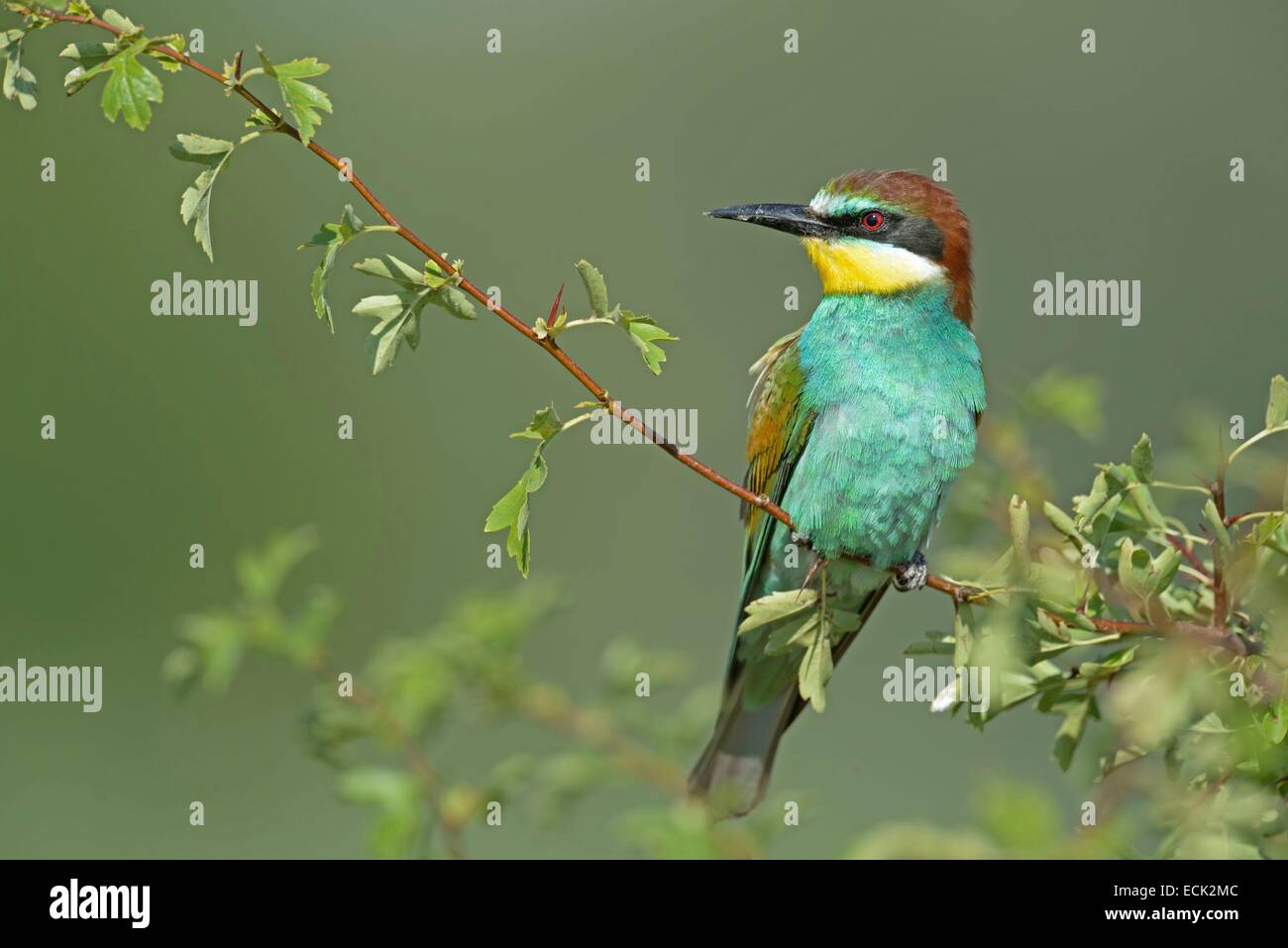 France, Jura, low Doubs valley, Petit Noir, European Bee eater (Merops apiaster) colony nesting birds in the banks - Stock Image