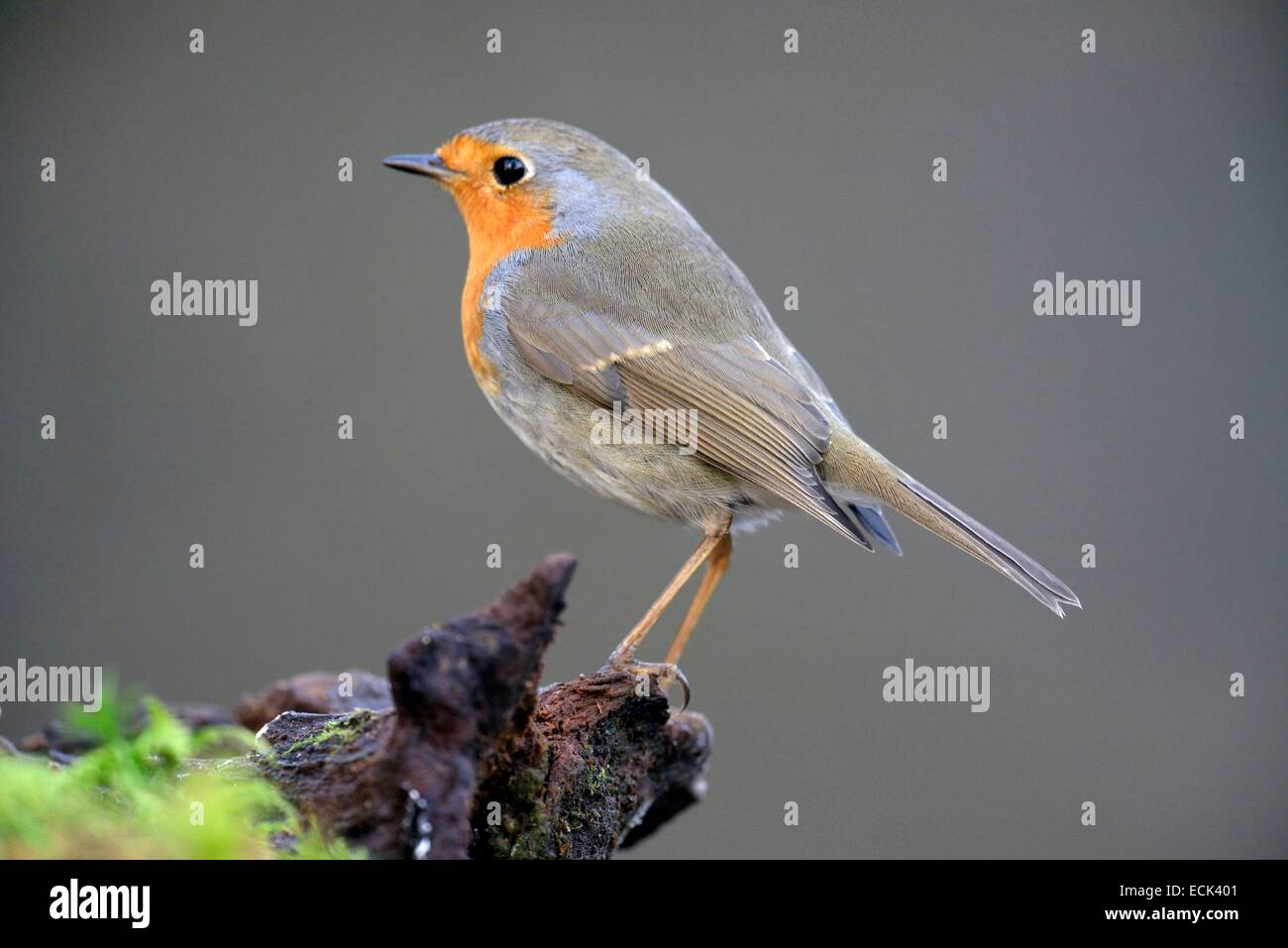 France, Doubs, familiar European Robin (Erithacus rubecula) attached to a covered root foam - Stock Image