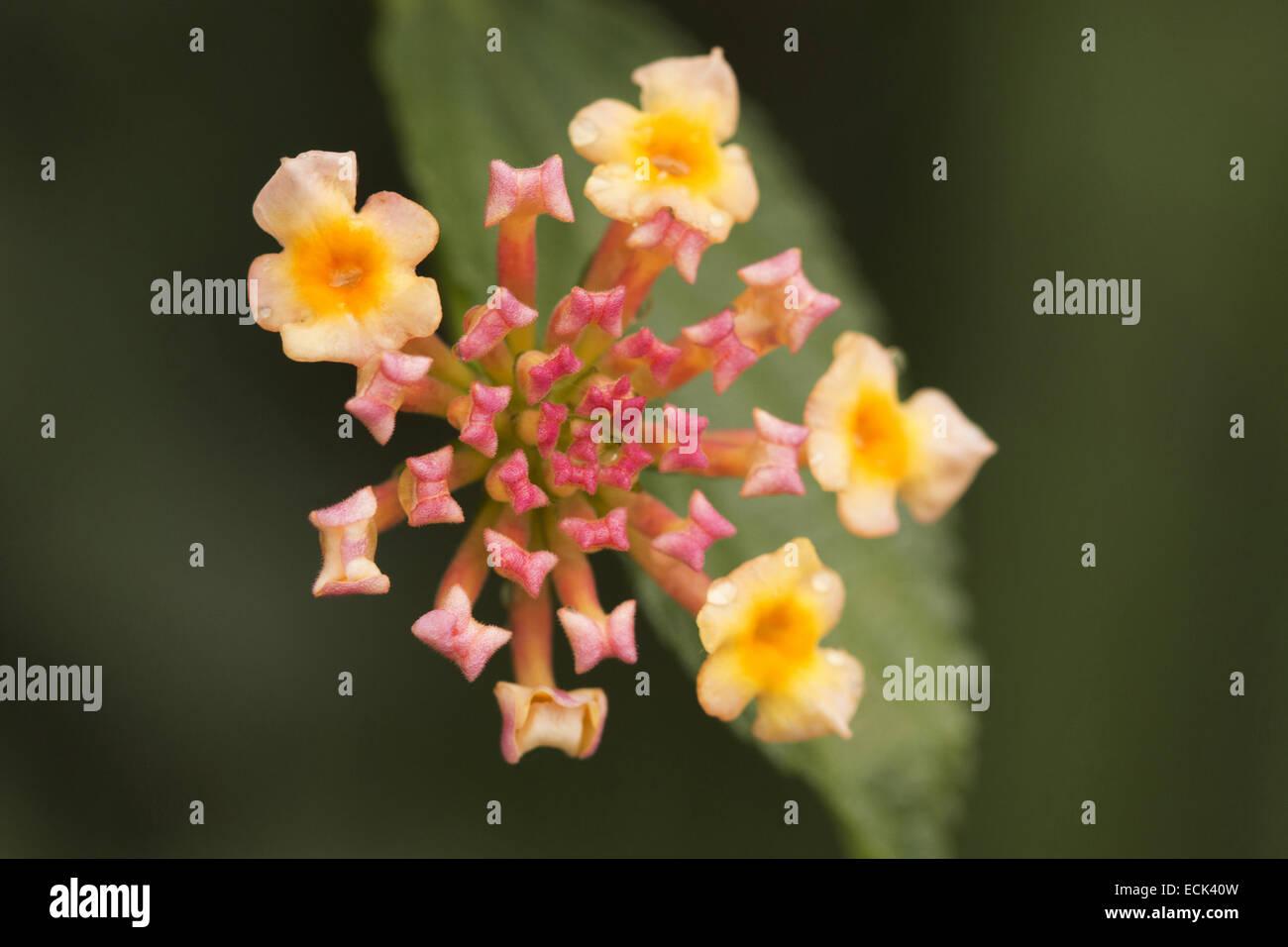 Lantana flowers, Maharashtra, India - Stock Image