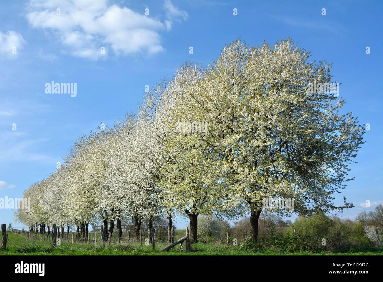 France, Doubs, Allenjoie, alignment of cherry blossoms in an orchard. Plateau Brognard - Stock Image