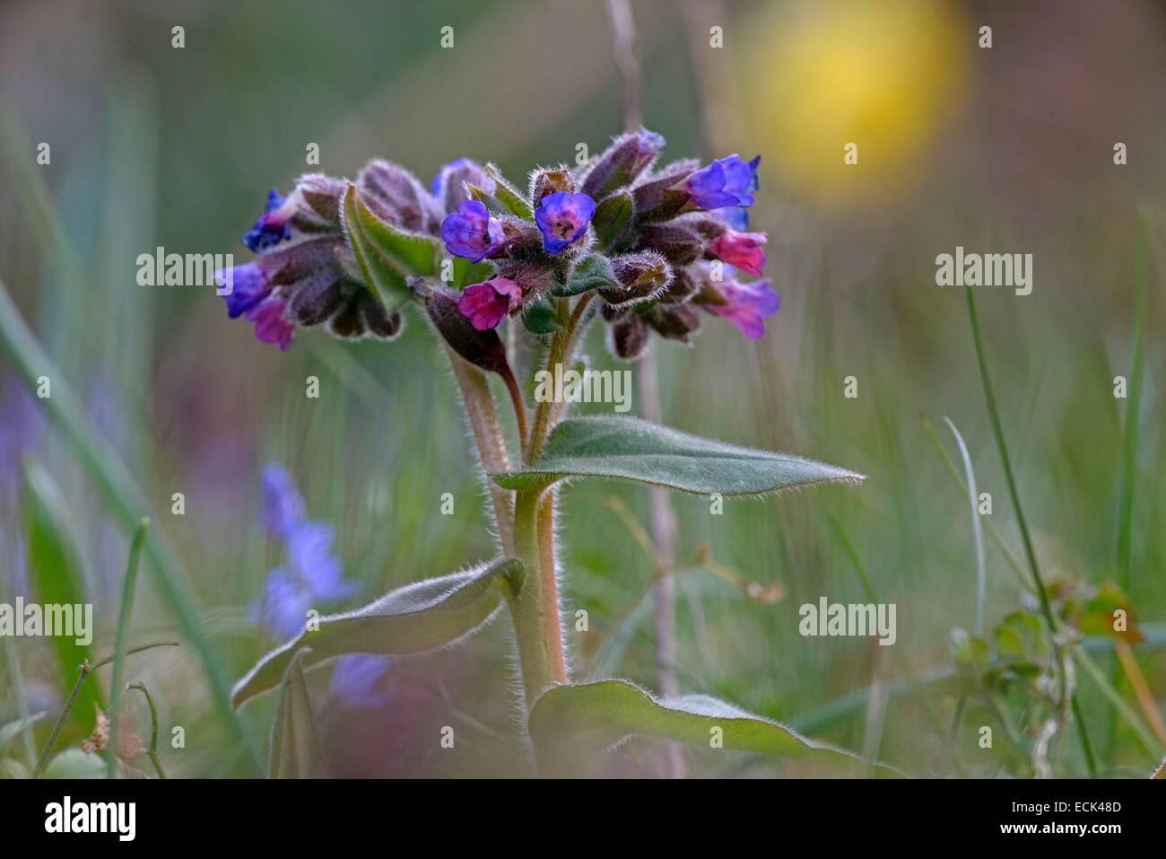 France, Doubs, flora, Pulmonary officinale (Pulmonaria officinalis) - Stock Image