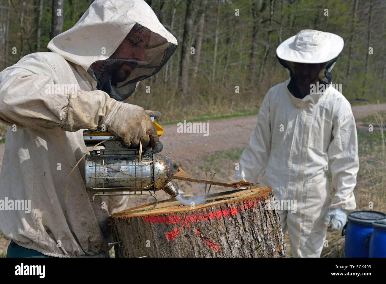France, Haute Saone, beekeepers acting with a smokehouse on essain forest bees (Apis mellifera) housed in the trunk - Stock Image