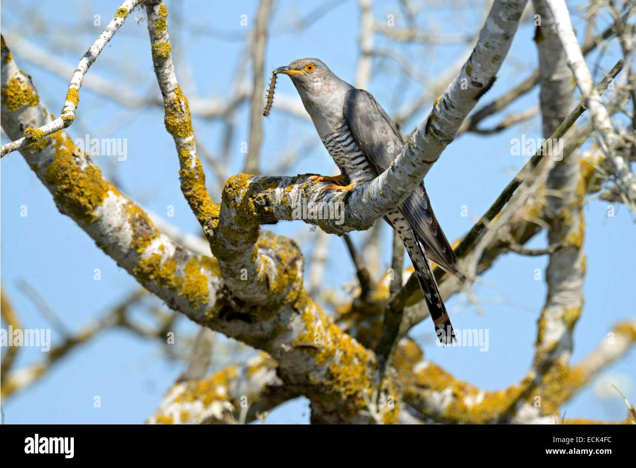 Romania, Danube Delta listed as World Heritage by UNESCO, Cuckoo (Cuculus canorus), capturing a caterpillar - Stock Image