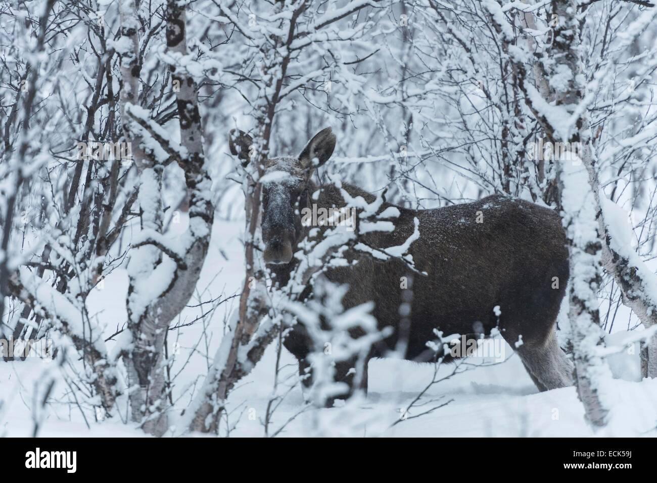 Sweden, Lapland, Norrbotten, GΣllivare, Moose in Swedish Lapland near Nikkaluokta - Stock Image