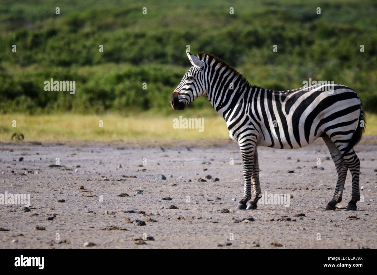 Kenya, Amboseli National Park, lonely Grant's zebra (Equus burchelli granti) - Stock Image